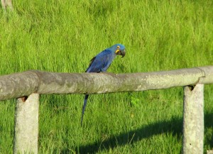 Hyacinth Macaw in the Pantanal